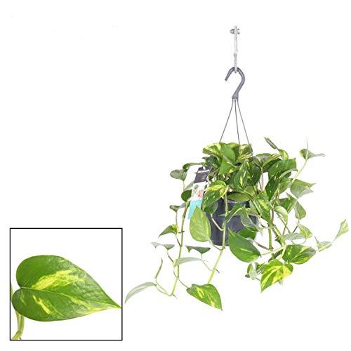 Efeutute Ampel 50-70 cm länge Epipremnum aureum Zimmerpflanze