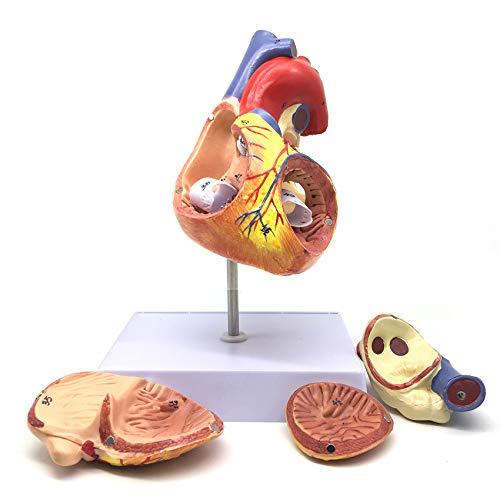 Heart Anatomical Model