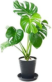 【セラアート鉢】選べる観葉植物 6号鉢 (モンステラ, ブラック)