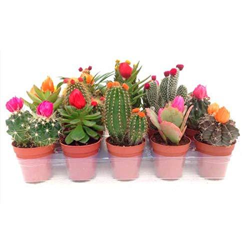Bandeja de 10 Cactus Naturales con Flor Artificial en Maceta Pequeña