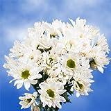 GlobalRose 144 Fresh Cut White Chrysanthemum Daisy Flowers - Fresh Flowers For Birthdays, Weddings or Anniversary.