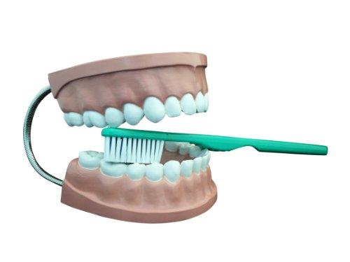Ajax científica AN020–0002plástico dental modelo de atención con cepillo de dientes gigante, 6x 4,5x 5cm