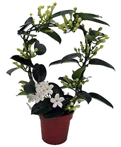 Kranzschlinge, (Stephanotis floribunda), Sorte: Fleur Parfum, im 12cm Topf, ca. 45cm hoch (1 Pflanze, Sorte: Fleur Parfum)