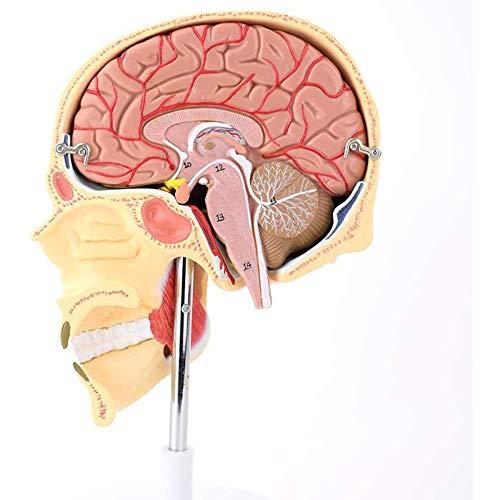 N \ A Humanes Kaumuskelmodell - Humanes Schädelhirnmodell - Kiefergesichtsstruktur Anatomie Muskelnerv Arterialvenenmasseter Muskelmodell - Für Wissenschaftliche Studienanzeige