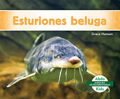Esturiones beluga / Beluga Sturgeons