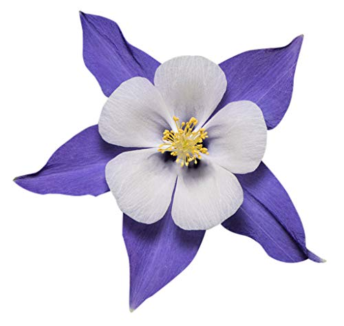 2800 Blue Dream Columbine Seeds - A Favorite Perennial Wildflower and State Flower of Colorado