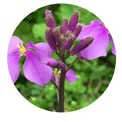 promworld Graines de Plantes,pour Le Jardin Graines,Fleur de février Orchidée de Jardin de graines de Jardin de Parc Vert Graine-0.25kg_Février orchidée