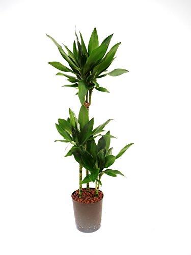 Drachenbaum Dracaena fragrans Janet