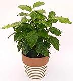 Kaffeepflanze, Caffe Arabicain, Keramik-Topf mit Streifen Terracotta-Weiß, echte Pflanze