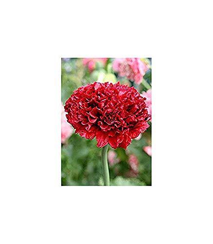 Roter Mohn - 100 Samen