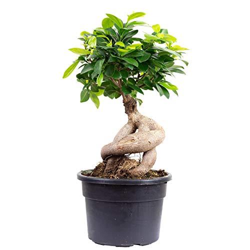 Chinesische Feige - Ficus Ginseng -...