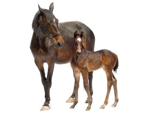 Wandtattoo No.265 Trakehnerstute & Fohlen Pferd Pony Tier Braun Reiten Pferd