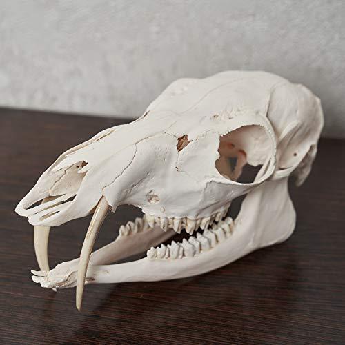 Siberian Musk Deer Taxidermy Skull - Musk-Deer Cleaned Skull, Jaws, Bones, Skeleton, Teeth for Sale - Real, Decor, LIFESIZE, Genuine - ST6681