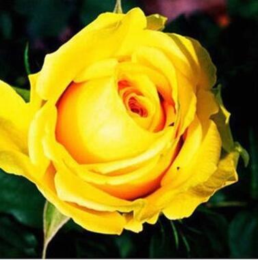 100pcs Rose rouge Graine professionnelle Seedling Floer Plantez des fleurs / Couleurs Vary jardin de sélection Graines Pot Bonsai 13