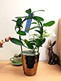 Easy Plants 1 Scented Madagascar Jasmine Flower House Plant @ Gold Ceramic Pot Silver Top Dressing