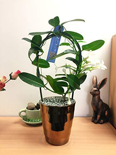 Easy Plants 1 plante parfumée de luxe de jasmin de Madagascar avec pot en céramique doré et finition argentée