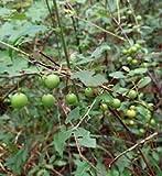 36 Sẹẹds Prunus Grạcịlịs Sẹẹds Sour Plum Oklạhomạ Plum
