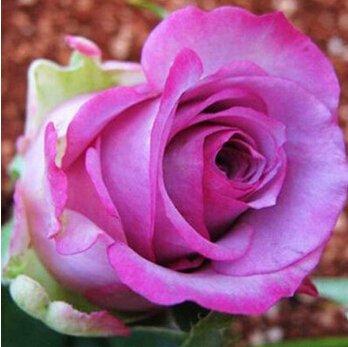 Paquet professionnel 100 graines / pack graines Bonsai rose, Vary couleur pour sélectionner Sweet Seed Garden Rose