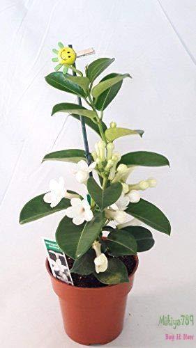 FERRY Bio-Saatgut Nicht nur Pflanzen: Madacar Jasmin Stephanotis Brid Kranz 100 Seeds Duftende Blüten