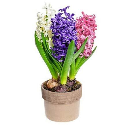 Isenzo Hyazinthen Pflanzen im Topf 3 Farben Mix Zwiebelpflanzen Duftend Frühlingsblumen Lebende Blumen