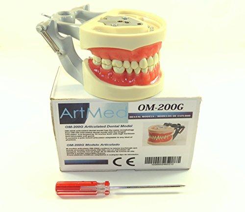 Dental Typodont Model 200 Type Kilgore Nissin Removable Teeth Plutus World INC