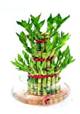 Abana Homes Bamboo Plant Indoor with Pot - Three Layer Live Bamboo Plant