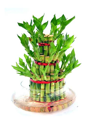 Abana Homes Bamboo Plant Indoor with Pot – Three Layer Live Bamboo Plant in Glass Bowl – Great Home/Office Decor