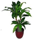 Leaf Design UK Dracaena - Maceta de plástico para Plantas (75 cm), Color Negro