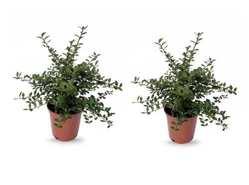 Plantas frutales de Botanicly – 2 × Caviar Cítrico – Altura: 40 cm – Microcitrus...