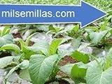 Semillas de tabaco Virginia rubio 500 semillas Nicotiana tabacum-