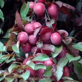 Großfrüchtige Blutpflaume 125-150cm - Prunus Trailblazer