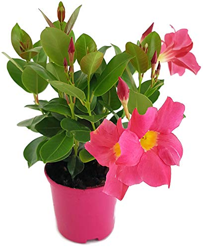 Fangblatt - Dipladenia Sundaville Pink - wunderschöne Kletterpflanze mit außergewöhnlichen pinken Blüten - ideal für Garten, Balkon oder Terrasse
