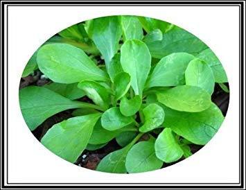 "SANHOC Samen-Paket: Mg Mâche Feldsalat Seed""Baron"" ~ süßes Euan Salat Greens ~ 400 Samen"