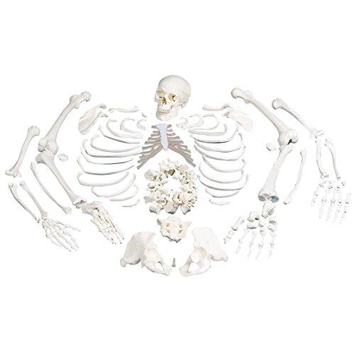 3B Scientific A05/1 Esqueleto Completo, desarticulado, Con Cráneo de 3 Piezas