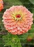 VISTARIC 2017 calientes de la venta de semillas de flores raras baqueta semillas de flor amarilla bombillas amarillas Bonsai para el balcón y centro de bola planta gaint