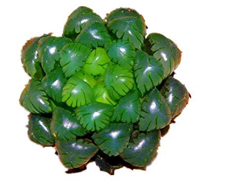 KINGDUO Pseudotruncatella Jardin De 100Pcs/Pack Lotus Lithops Graines Succulentes Plantes Fleur Bonsai Graine