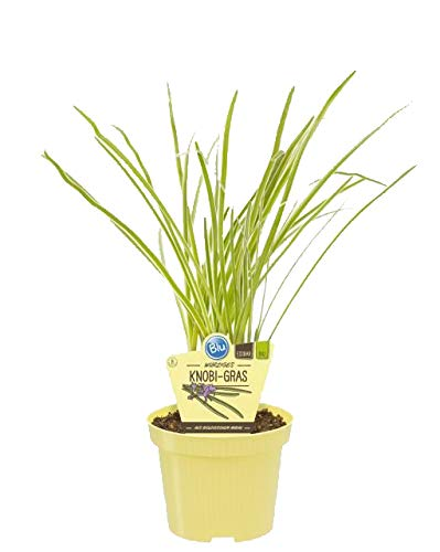 Bio Knobi-Gras (Tulbaghia violacea), Kräuter Pflanzen aus nachhaltigem Anbau
