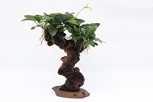 Dekoimtrend Urwaldbaum Mbuna mittel anubias Nana Aquarium Wurzel echtholz Aquariumpflanze echt Wasserpflanze