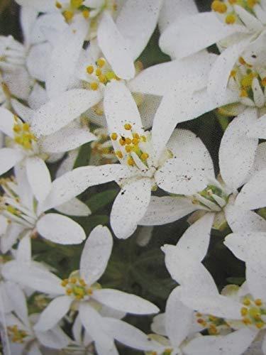 Choisya ternata White Dazzler - Orangenblume White Dazzler - immergrün - duftend -