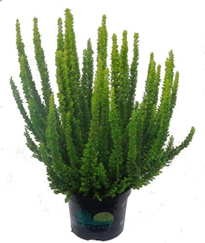 Calluna \'Skyline\'- Besenheide, Heidekraut - winterhart, mehrjährig, immergrün, sieht das ganze Jahr schön aus. Als Balkonpflanze und Beetpflanze,