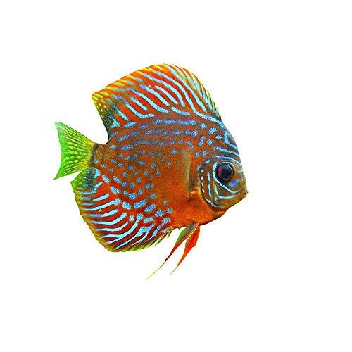 Wee Blue Coo Tropical Discus Fish Orange Afiche Cartel Imprimir Art Print Poster Wall Decor 12X16 inch