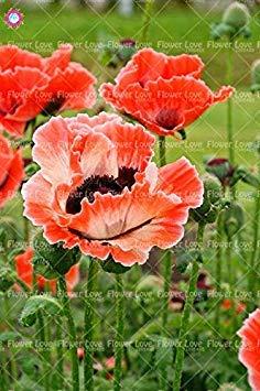 VISTARIC Gialli: 200 pezzi semi della petunia rari semi di colore della petunia fiori blu, rosso, nero perenne pianta bonsai pentola per il giardino di casa facile da coltivare Giallo