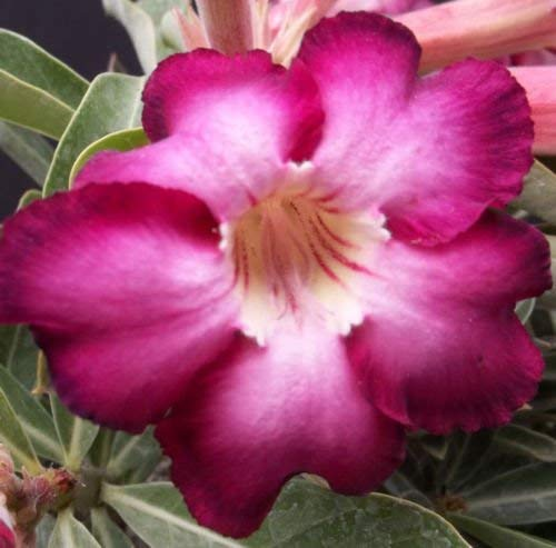Adenium obesum cv. désert SIAM VIOLET @ rose cactus bonsaïs caudex graines 30 graines