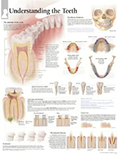 Understanding The Teeth chart: Wall Chart