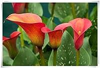 カラー球根,人々を幸せにする,贈り物,装飾されたバルコニー,リッチでカラフル,奇妙な花や植物-2球根,2