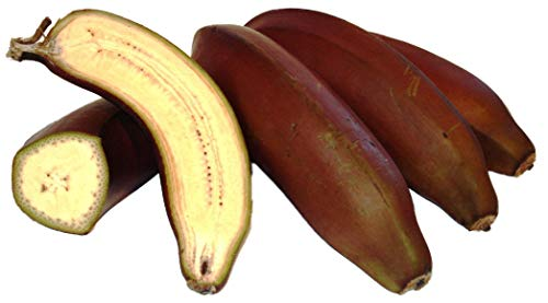 10 + frais Musa acuminata comestibles nain Bananier plantons des graines de fruits tropicaux