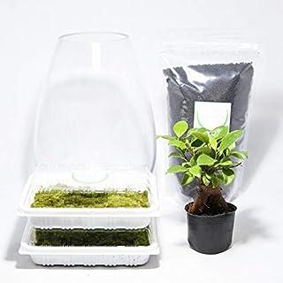 コケのインテリア コケリウム 栽培キット テラリウム キット 苔盆栽 セット コケリウムキット ガジュマル2