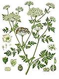 Potseed 50 Semillas de Conium maculatum, Cicuta, Australia Zanahoria Helecho