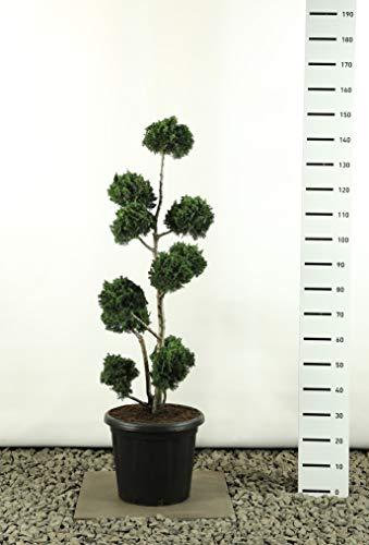 Scheinzypresse Formschnitt Formgehölz Bonsai PonPon - Chamaecyparis lawsoniana Wisselii Multibol - Gesamthöhe 125-150 cm - 20 Liter Topf