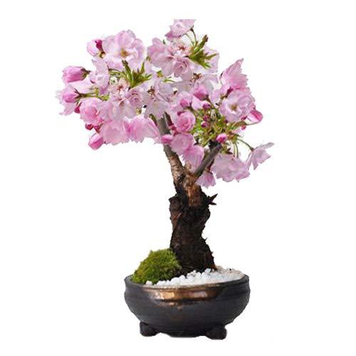 桜 盆栽 開花終了 葉桜 おうちでお花見 桜のミニ盆栽 鉢植え 育て方冊子と肥料付き 小さくても満開の花咲く 盆栽妙 樹高15cm